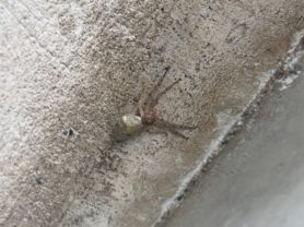 Picture of Thomisidae (Crab Spiders) - Lateral