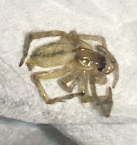 Picture of Hibana incursa - Male - Lateral