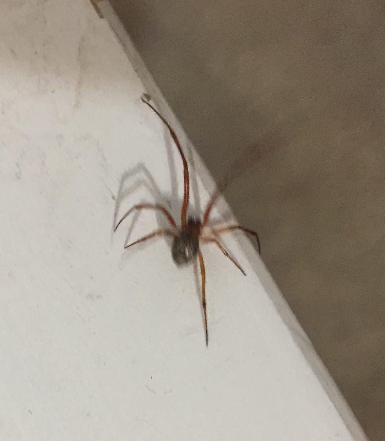 Picture of Parasteatoda tepidariorum (Common House Spider) - Male - Dorsal
