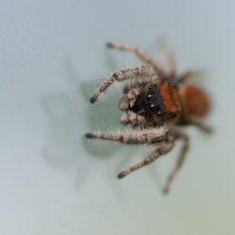 Featured spider picture of Phidippus whitmani