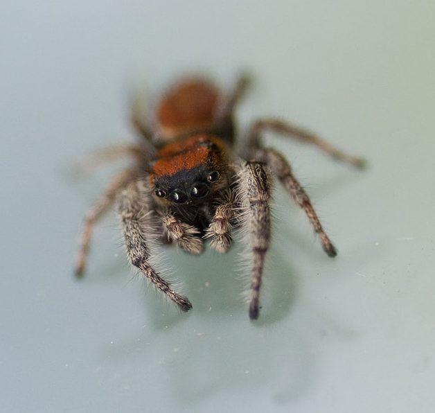 Picture of Phidippus whitmani - Eyes