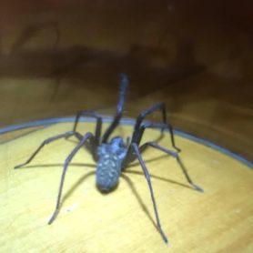 Picture of Eratigena atrica (Giant House Spider) - Dorsal