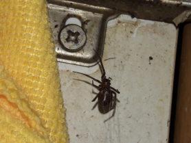 Picture of Steatoda spp. - Female - Ventral