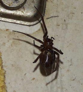 Picture of Steatoda spp. (False Widows) - Female - Ventral