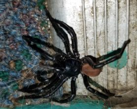 Picture of Bothriocyrtum californicum (California Trapdoor Spider) - Male - Lateral