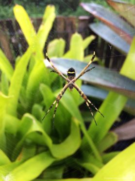 Picture of Argiope argentata (Silver Garden Spider) - Ventral,Webs