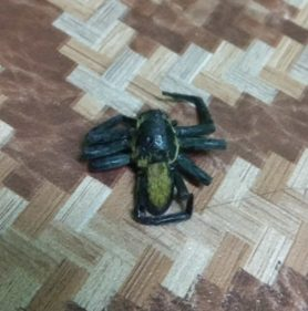 Picture of Thelcticopis spp. - Dorsal
