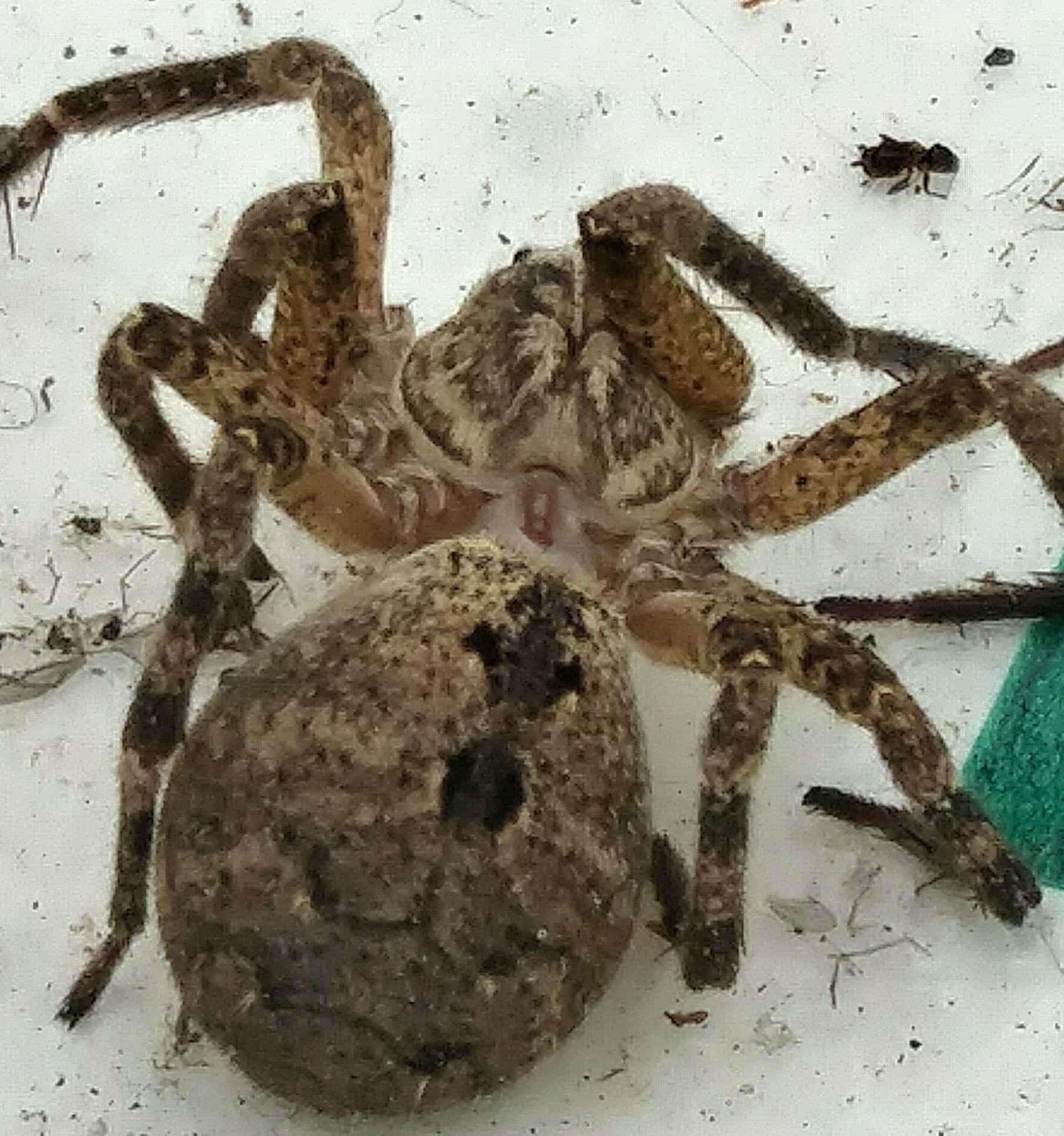 Picture of Zoropsis spinimana - Dorsal