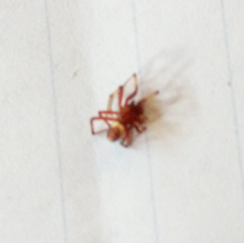 Picture of Asagena fulva - Male - Dorsal