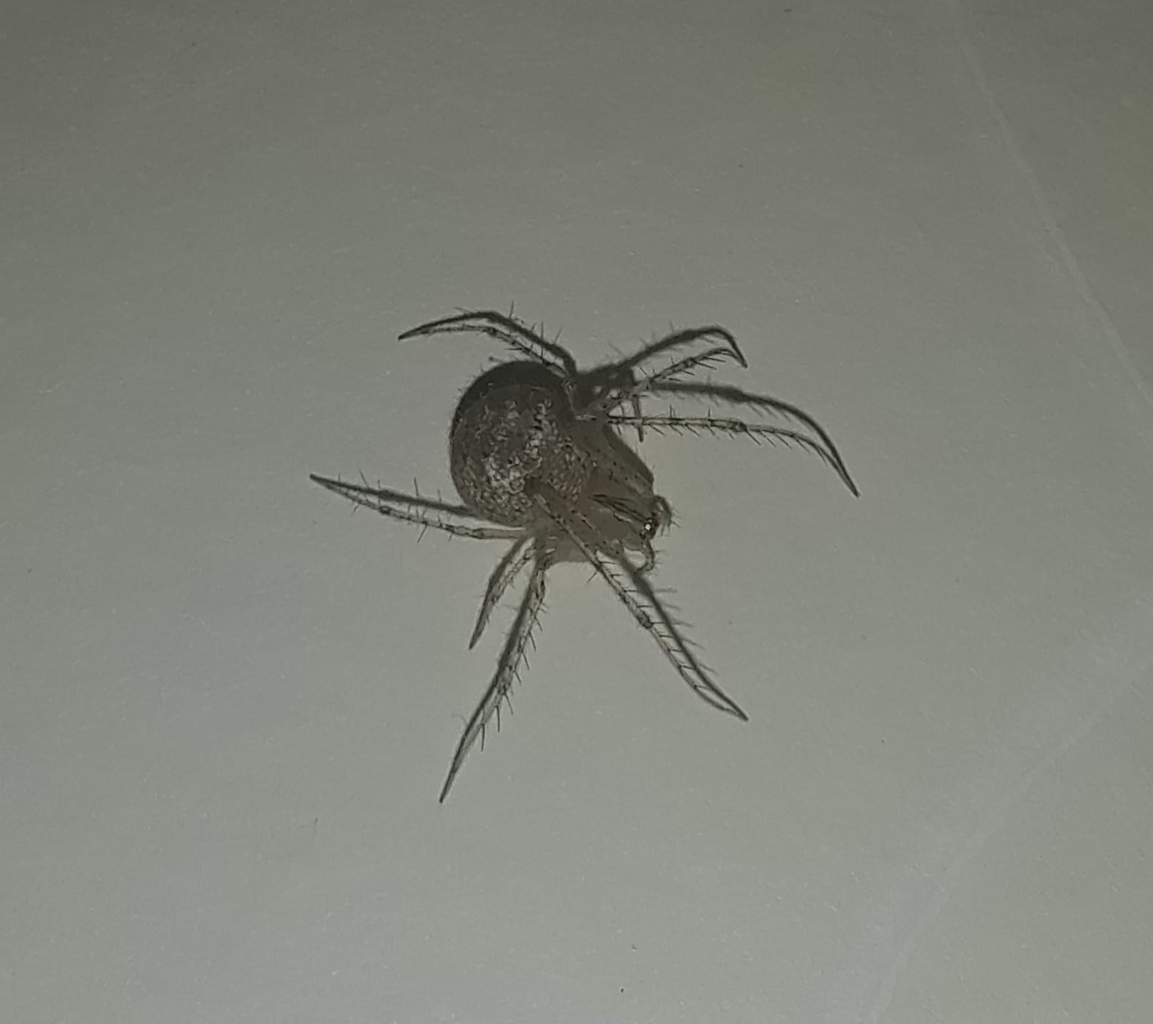 Picture of Reo eutypus - Female - Dorsal