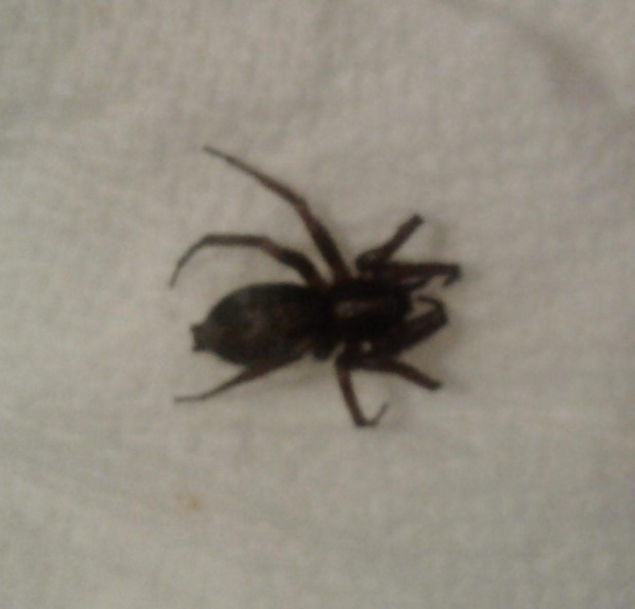 Herpyllus Ecclesiasticus Eastern Parson Spider In Lowville New