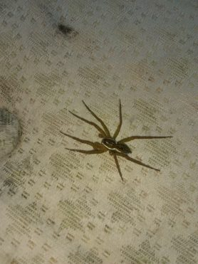 Picture of Dolomedes triton (Six-spotted Fishing Spider) - Male - Dorsal,Penultimate