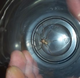 Picture of Loxosceles reclusa (Brown Recluse) - Male