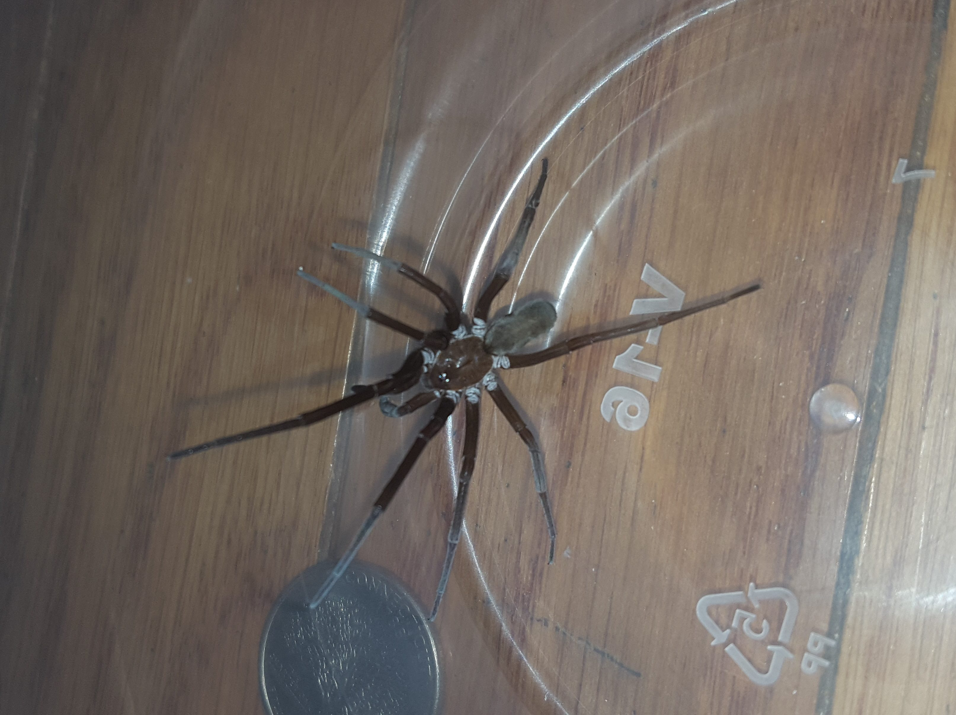 Picture of Kukulcania hibernalis (Southern House Spider) - Female - Dorsal