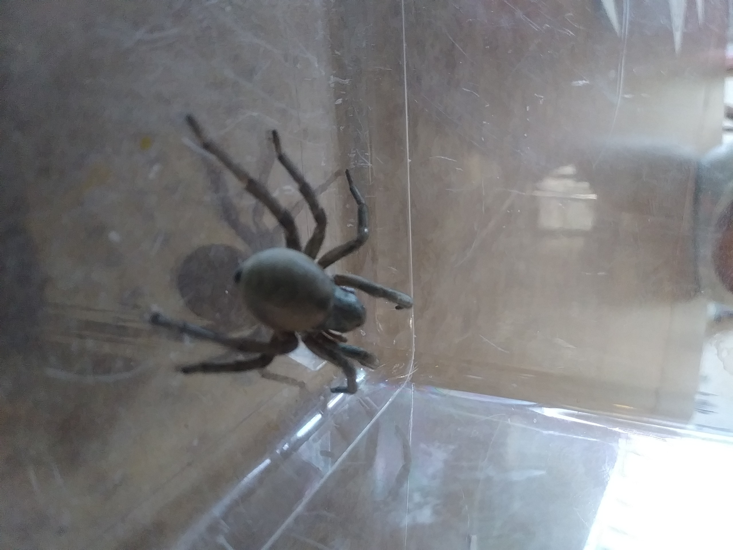 Picture of Geolycosa (Burrowing Wolf Spiders)