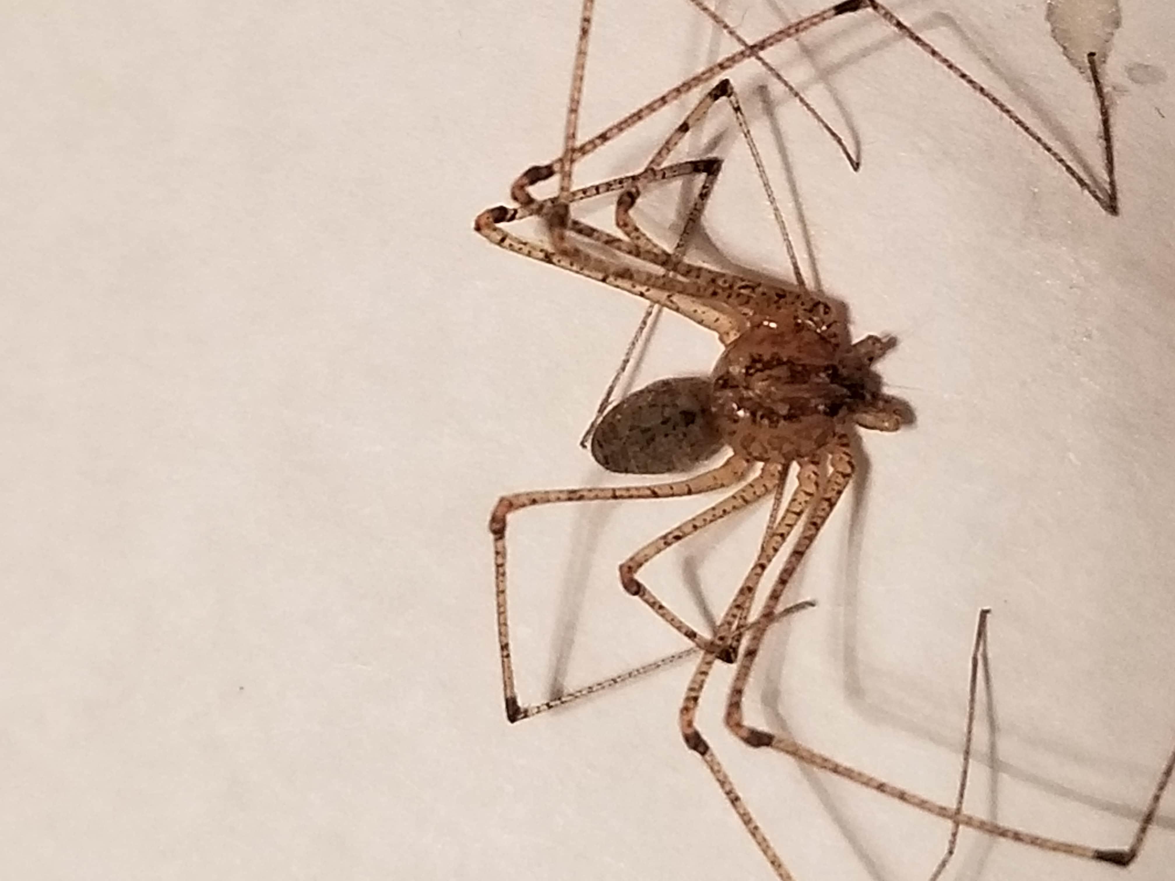 Picture of Scytodes longipes - Dorsal