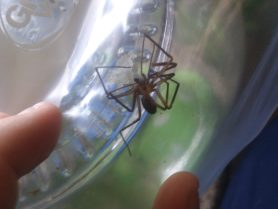 Picture of Loxosceles reclusa (Brown Recluse) - Male - Dorsal