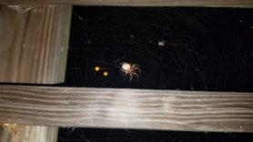 Picture of Metazygia spp. - Dorsal,Webs