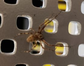 Picture of Larinioides sclopetarius (Bridge Orb-weaver) - Male - Dorsal