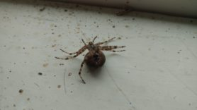 Picture of Araneus spp. (Angulate & Round-shouldered Orb-weavers) - Female - Ventral