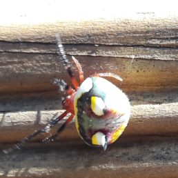 Featured spider picture of Poecilopachys australasia (Two-spined Spider)