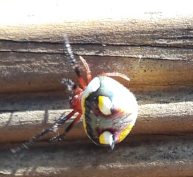Picture of Poecilopachys australasia (Two-spined Spider) - Dorsal