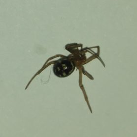 Picture of Steatoda spp. (False Widows) - Dorsal