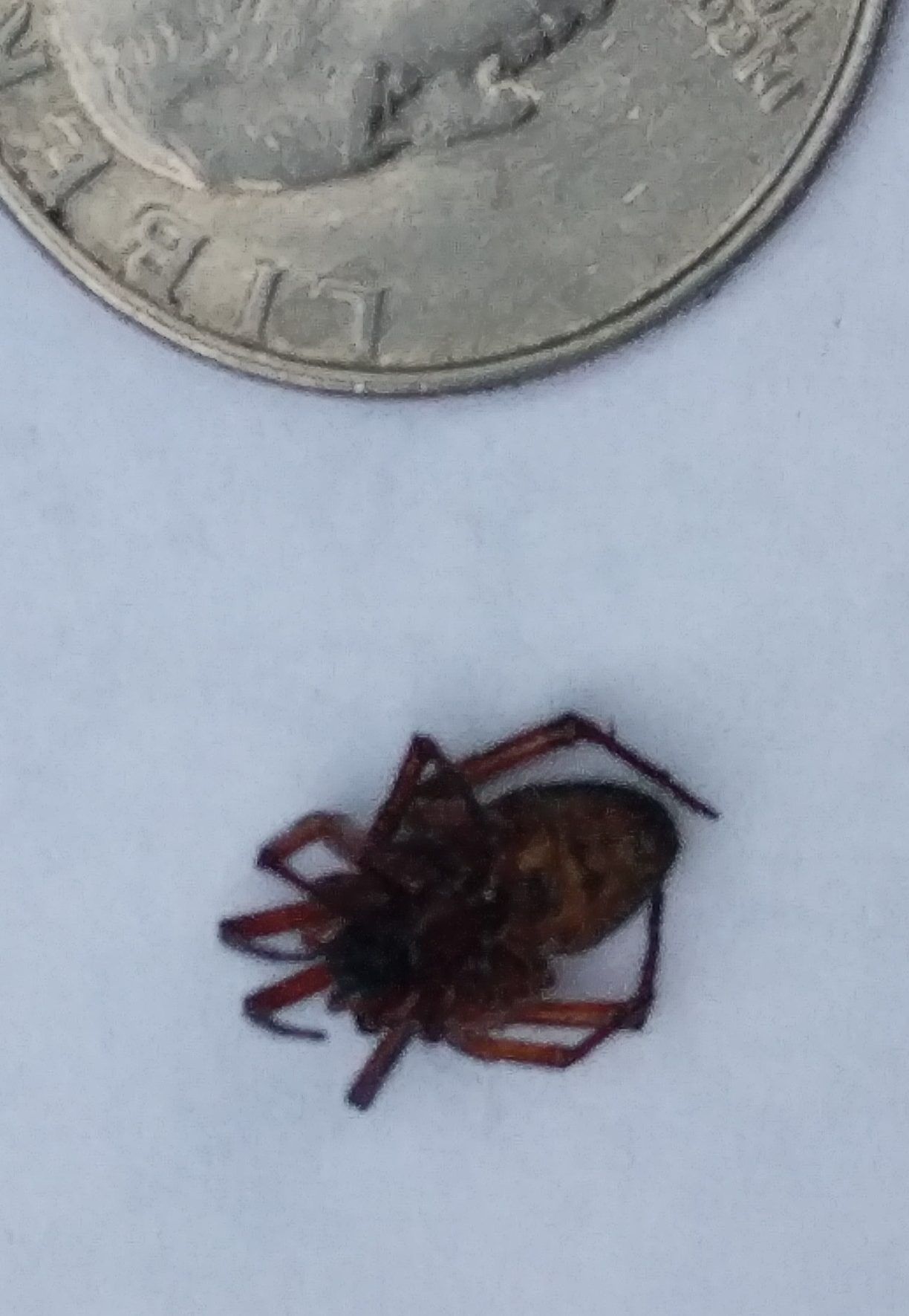 Picture of Steatoda nobilis (Noble False Widow) - Ventral