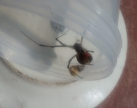 Picture of Latrodectus spp. (Widow Spiders) - Ventral