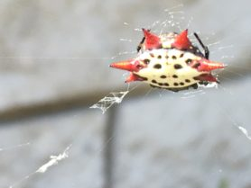 Picture of Gasteracantha cancriformis (Spiny-backed Orb-weaver) - Dorsal,Webs