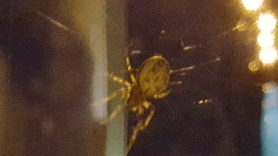 Picture of Larinioides cornutus (Furrow Orb-weaver) - Dorsal
