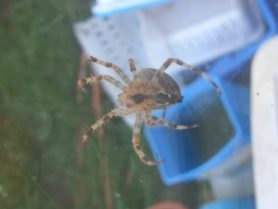 Picture of Araneus diadematus (Cross Orb-weaver) - Female - Ventral