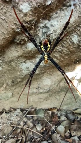 Picture of Argiope spp. (Garden Orb-weavers) - Ventral