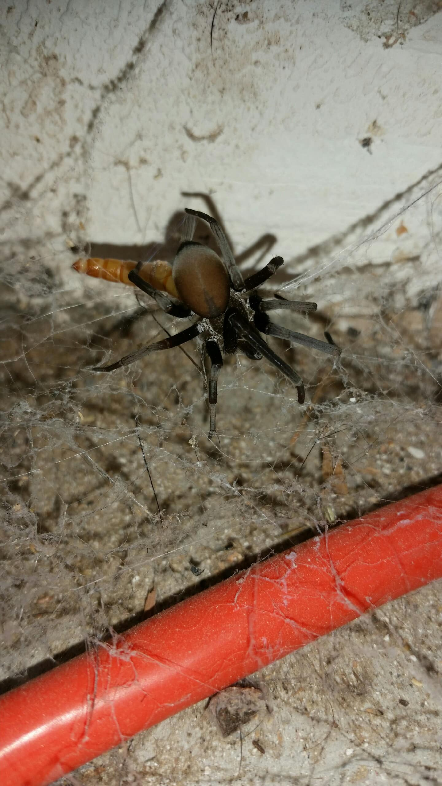 Picture of Kukulcania - Dorsal,Webs,Accidental adventive