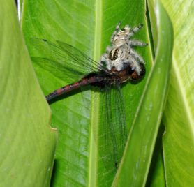 Picture of Hyllus diardi (Heavy Jumping Spider) - Lateral,Prey