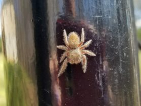 Picture of Salticidae (Jumping Spiders)