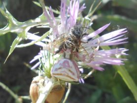 Picture of Thomisus onustus (Pink Crab Spider) - Female - Dorsal,Prey