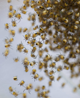 Picture of Argiope spp. (Garden Orb-weavers) - Male,Female - Spiderlings