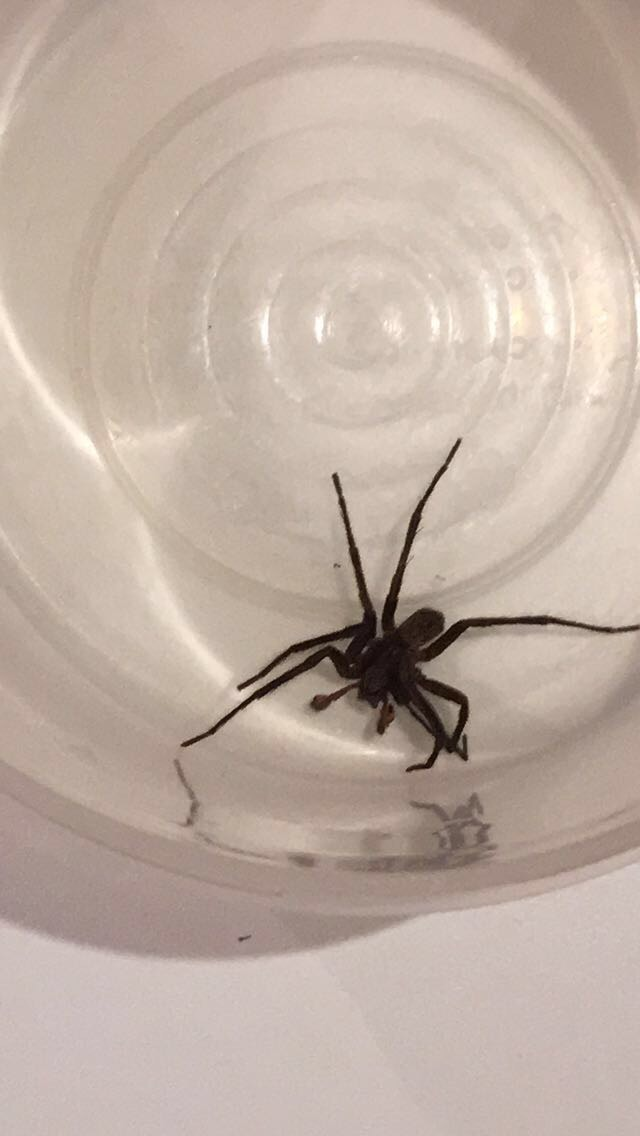 Picture of Uliodon (Vagrant Spiders) - Male - Dorsal