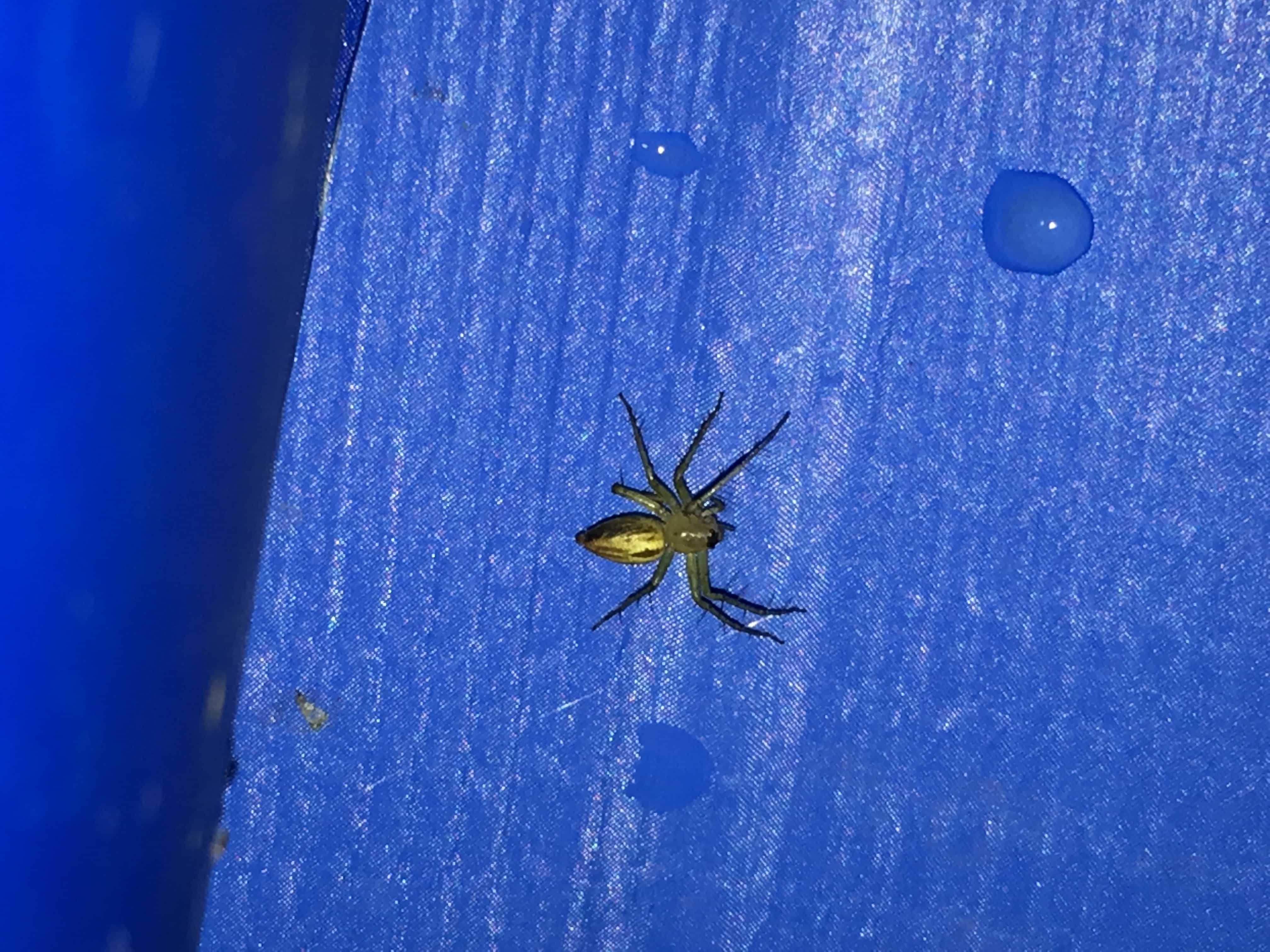 Picture of Oxyopes