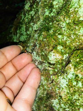 Picture of Neriene radiata (Filmy Dome Spider)