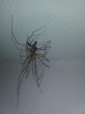 Picture of Pholcus phalangioides (Long-bodied Cellar Spider) - Male,Female