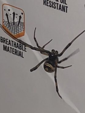 Picture of Latrodectus spp. (Widow Spiders) - Male