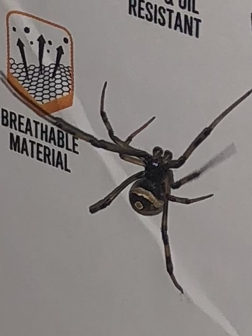 Picture of Latrodectus (Widow Spiders) - Male