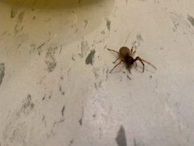 Picture of Trachelas tranquillus (Broad-faced Sac Spider)