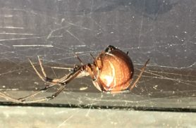 Picture of Latrodectus geometricus (Brown Widow Spider) - Lateral