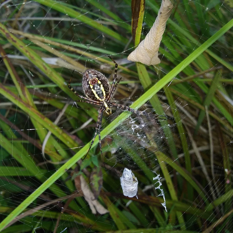 Picture of Argiope trifasciata (Banded Garden Spider) - Ventral,Webs,Prey