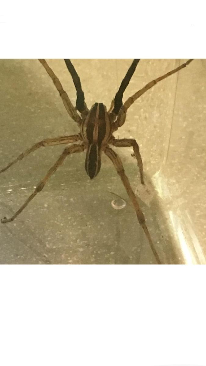 Picture of Rabidosa rabida (Rabid Wolf Spider) - Male - Dorsal
