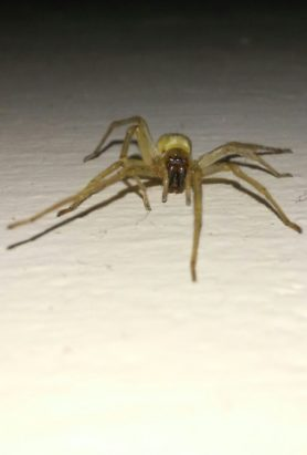 Picture of Cheiracanthium mildei (Long-legged Sac Spider) - Female - Eyes