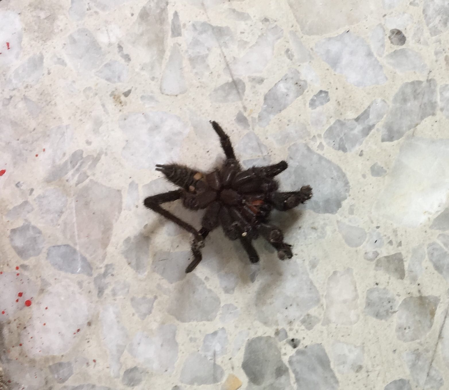 Picture of Theraphosidae (Tarantulas) - Male - Ventral